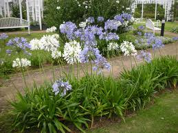 Agapanthus Invasive Weed Species