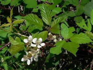 Blackberry Rubus_fruticosus_ flowers 2