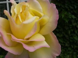 Hybrid T Rose