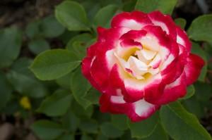 Hybrid T Roses