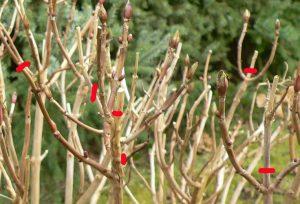 Hydrangea Pruning