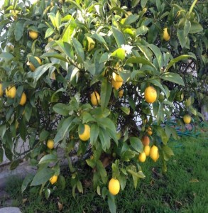 Lemon Citrus Trees 2