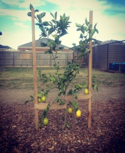 Lemon Citrus Trees 3