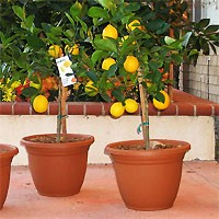 Lemon Citrus Trees 5