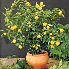 Lemon Citrus Trees 6