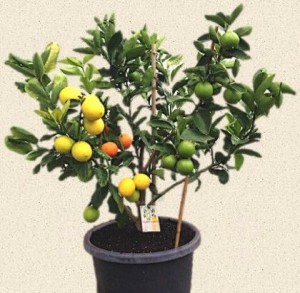 Lemon Citrus Trees 7