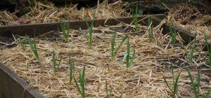 pea-staw-mulch